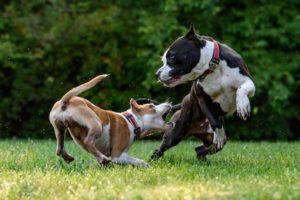 Hundehaftpflicht: Zwei Hunde spielen